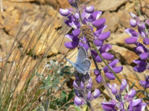 A male mission blue butterfly rests upon a silver bush lupine (Lupinus albifrons). As of 14 December 2009, the 'mission blue butterfly' (Icaricia icarioides missionensis) is listed as Endangered under the U.S. Endangered Species Act. Photo credit: Patrick Kobernus