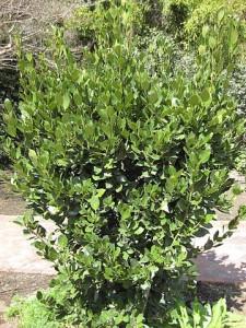 Laurus nobilis - Bay Tree or Bay Leaf shrub