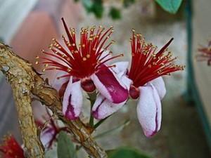 Acca sellowiana - Pineapple Guava - Edible landscape plant for California CSE Exam