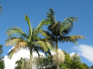 King Palm - Archontophoenix - Photo by CSKK