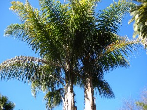 Queen Palm for California landscape for the CSE Exam