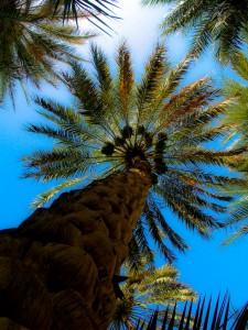 Date Palm - Phoenix dactylifera
