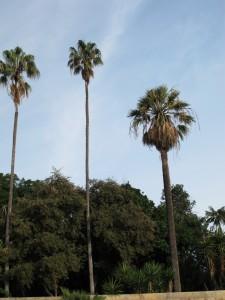 Washintonia filifera and Washingtonia robusta palm trees for California landscapes for the CSE exam