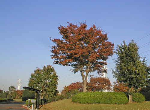 Japanese Zelkova (Zelkova serrata) Fall Color in the Landscape