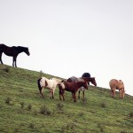 Horses on a hill. Horses can die if they eat too much toxic plant material