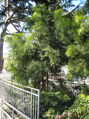 Podocarpus gracilior - Fern Pine - California Supplemental Exam for Landscape Architects