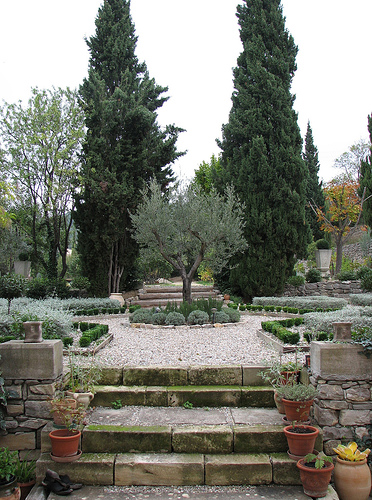 Fruitless olive tree used as a focal point in a formal garden. Photo by Olive trees in the landscape. Fruitless olives do not drop the messy fruit and require less maintenance in the landscape. Photo by Seán A. O'Hara.