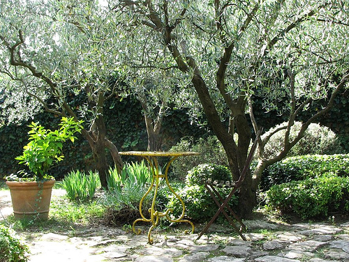 Fruitless Olive Trees In The Landscape Are A Possible Test Question On The  California Supplemental Exam