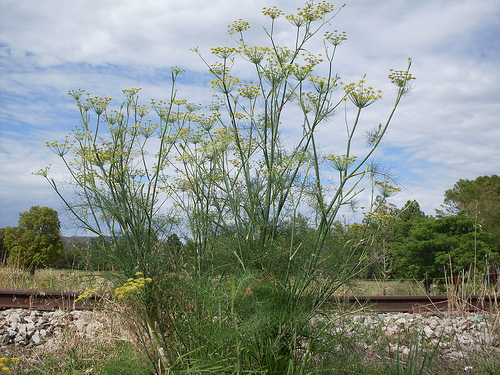 Fennel is extremely invasive and well-adapted to coastal and foothill sites. Photo by John Tann. Know that fennel is invasive for the California Supplemental Exam for Landscape Architects (CSE)