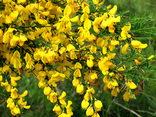 Scotch Broom -Cytisus scoparius is an invasive plant to know for the California Supplemental Exam (CSE) for landscape architects.
