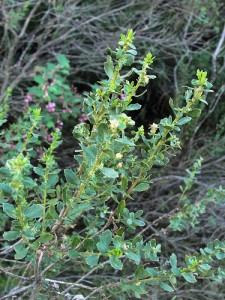 Baccharis foliage. Photo by MiguelVieira/Flickr. Creative Commons License.