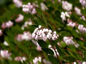 Arctostaphyllos 'Pacific Mist'. Photo by Mathesont/Flickr. Creative Commons License.