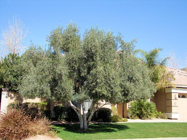 Fruitless Olive Trees For California